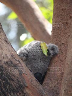 木の上で眠るコアラの写真・画像素材[2320791]