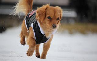 雪の上を走る犬の写真・画像素材[2323627]