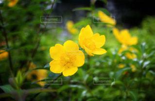 黄色い花の写真・画像素材[2329452]