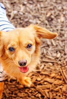 かわいい犬の写真・画像素材[2331707]