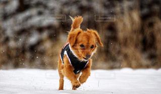 雪の中を走る犬の写真・画像素材[2331858]