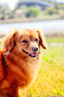 嬉しそうな犬の写真・画像素材[2331868]