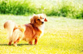 ふりかえる犬の写真・画像素材[2331880]