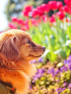 犬とチューリップの写真・画像素材[2332626]