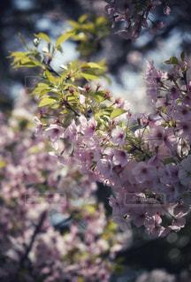 桜の写真・画像素材[2332629]