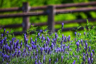 紫の花の写真・画像素材[2333448]