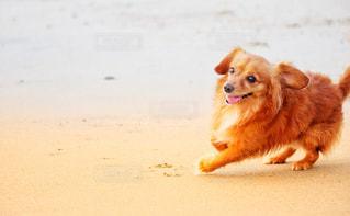 浜辺で走る犬の写真・画像素材[2338596]