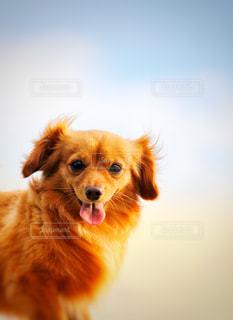犬のクローズアップの写真・画像素材[2340456]