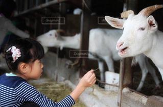 ヤギと女の子の写真・画像素材[2351204]