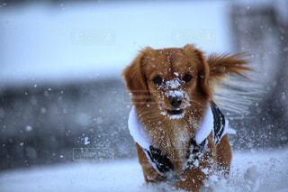 雪の中の犬の写真・画像素材[2354104]