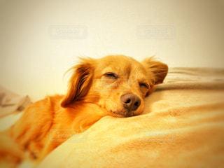 枕を使って寝る犬の写真・画像素材[2404266]