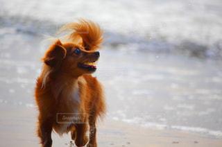 海辺で遊ぶ犬の写真・画像素材[2504381]