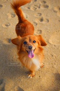 飼い主を見上げる犬の写真・画像素材[2504382]