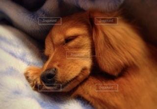 ワンコの寝顔の写真・画像素材[2676000]