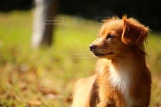 遠くを見つめる犬の写真・画像素材[2710553]