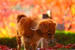 秋とわんこの写真・画像素材[2729547]