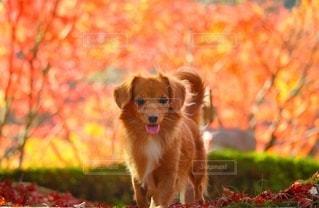 紅葉と犬の写真・画像素材[2729548]