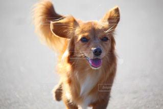 嬉しそうな犬の写真・画像素材[2962223]