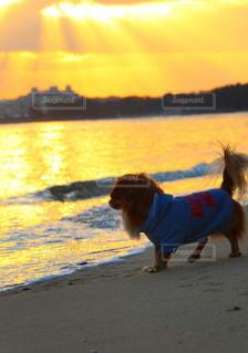 夕焼けと犬の写真・画像素材[2962225]