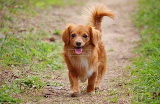 散歩する犬の写真・画像素材[3094730]