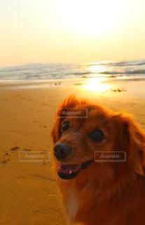 夕陽と犬の写真・画像素材[3141701]