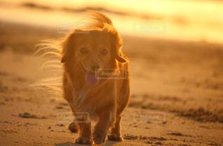 夕陽を浴びながら歩く犬の写真・画像素材[3303021]