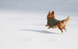 雪の上を走る犬の写真・画像素材[4056803]