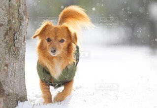 雪と犬の写真・画像素材[4056804]
