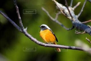 木の枝にとまる小鳥の写真・画像素材[4111104]