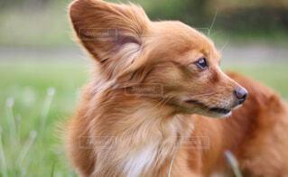 犬の横顔の写真・画像素材[4342373]
