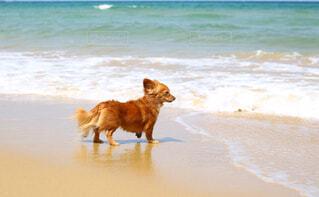 ビーチで遊ぶ犬の写真・画像素材[4361386]