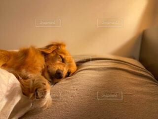 寝室で眠るわんこの写真・画像素材[4551067]