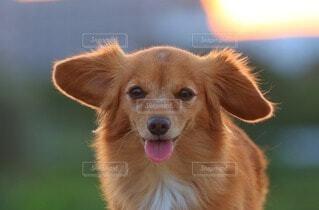 カメラ目線の犬の写真・画像素材[4914969]
