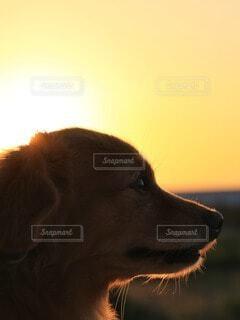 夕陽と犬の横顔の写真・画像素材[4914966]