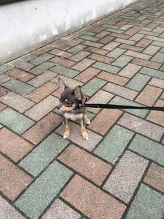 歩道に立っている小さな黒い犬の写真・画像素材[2311055]