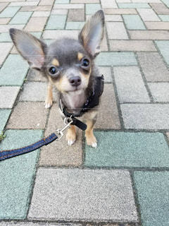散歩している小さな犬の写真・画像素材[2311056]