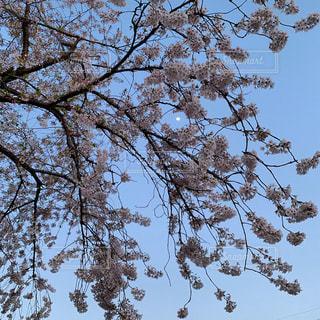 大きな木の写真・画像素材[2311096]