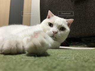 横たわる猫の写真・画像素材[2311377]