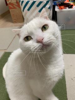 白い猫の写真・画像素材[2311387]