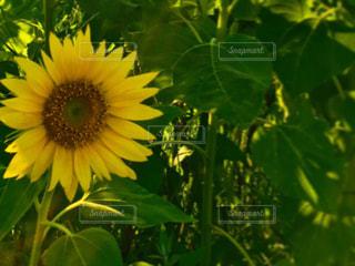 緑の葉を持つ黄色い花の写真・画像素材[2330888]
