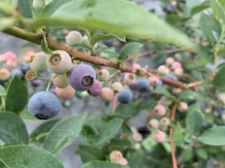 木からぶら下がる果物のクローズアップの写真・画像素材[2314391]
