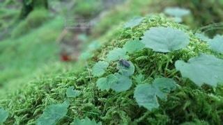 苔とホタルの写真・画像素材[2312849]