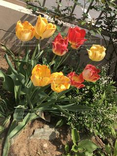 自宅の庭に咲いたチューリップの写真・画像素材[2313430]