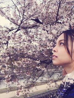 京都のさくらの写真・画像素材[2313443]