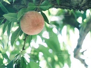 桃の木の写真・画像素材[2316263]