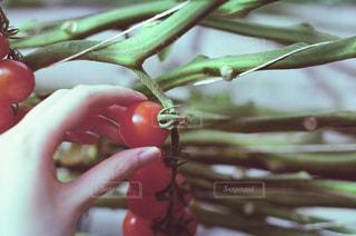 りんごを持った手のクローズアップの写真・画像素材[2316261]