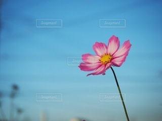 ピンクのコスモスの写真・画像素材[2316330]