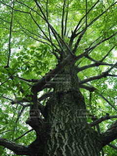 森の中の大きな木の写真・画像素材[2316339]