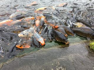 水の中でエサを待つコイの写真・画像素材[2329247]