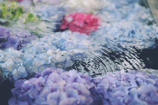 紫陽花と波紋の写真・画像素材[2318853]